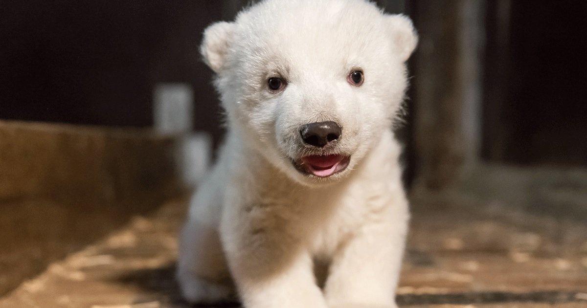 3 op.jpg?resize=1200,630 - Un vote en ligne permet de nommer l'ours polaire né au zoo de Mulhouse
