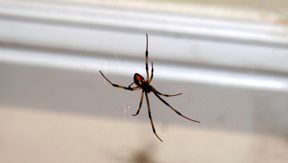 Arañas en casa: por qué te conviene dejarlas tranquilas