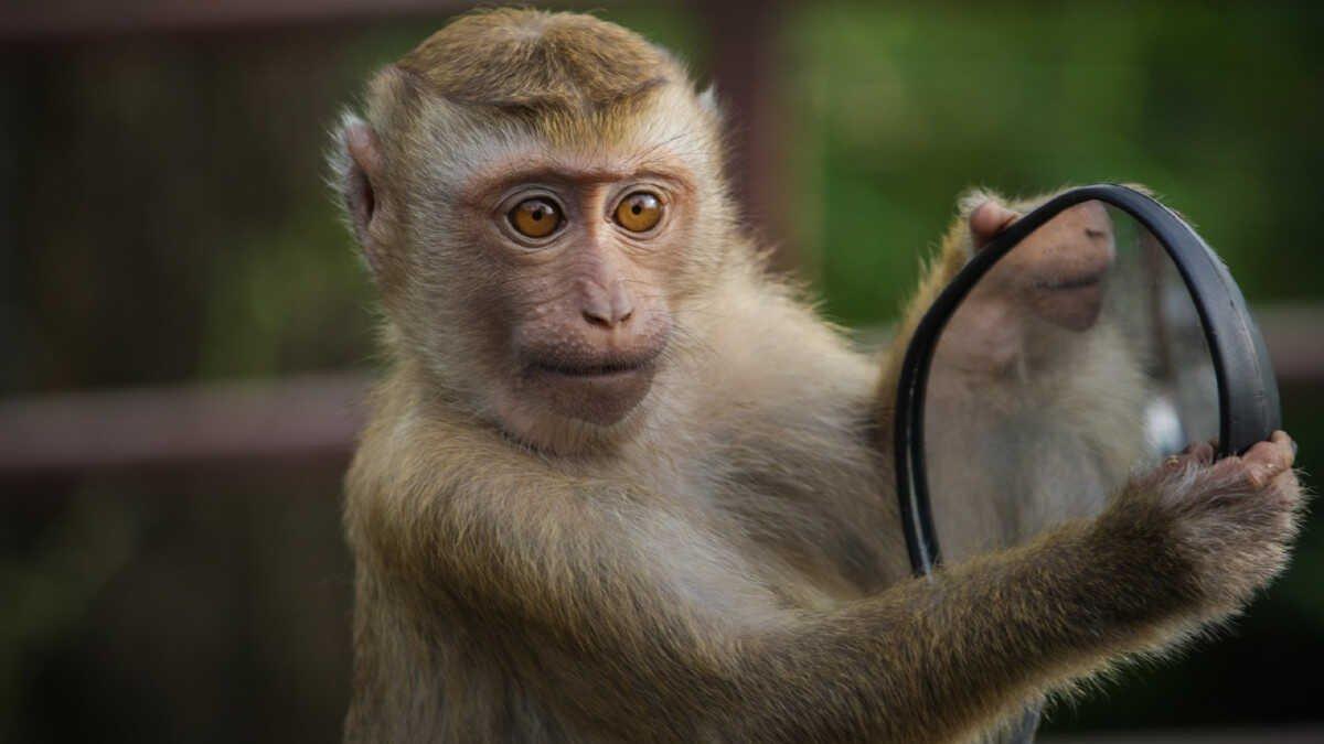 """Resultado de imagen de Empresa de Elon Musk implanta chip a un mono para que juegue """"videojuegos con su mente"""""""