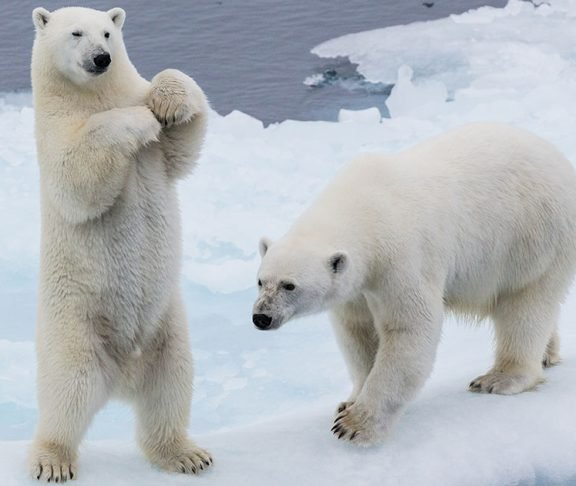 Image result for all polar bears are actually left-handed.