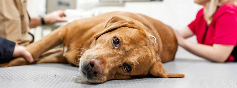 Resultado de imagen de comida perros toxinas