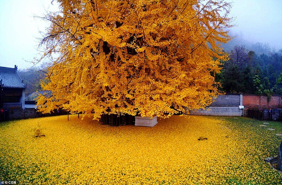 1400-year-old gingko tree