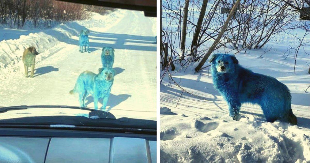 articulosportadas 4 3.png?resize=1200,630 - Extraña Aparición De Perros Azules Próximos A Una Fábrica Química En Rusia