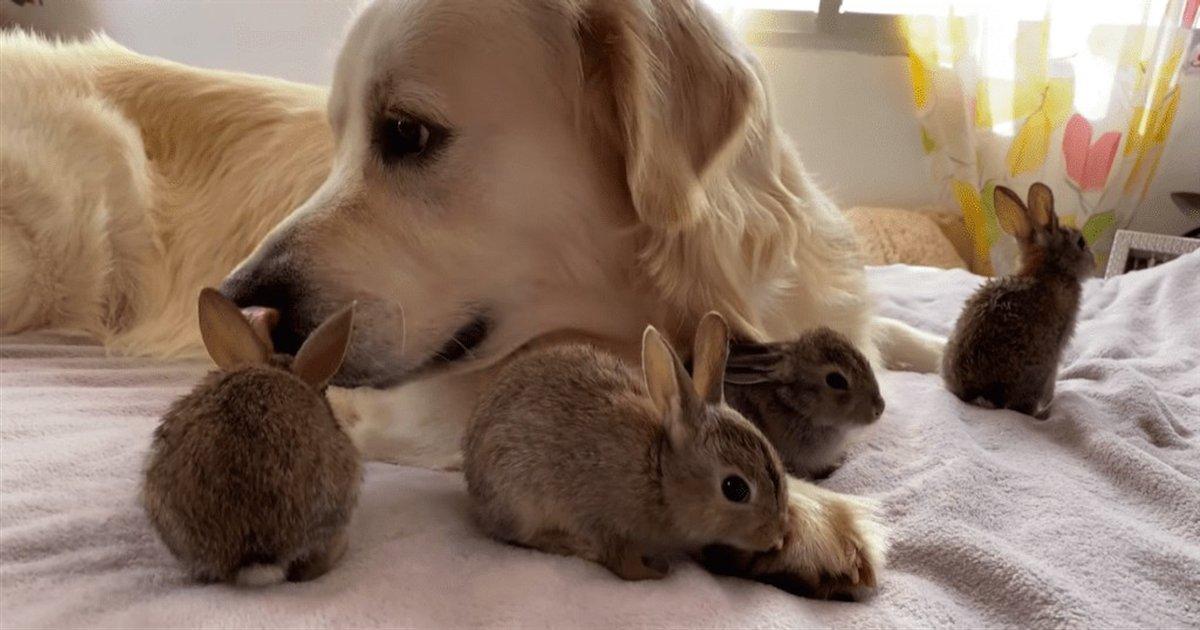 bailey.png?resize=412,232 - Ce golden retriever est devenu le père adoptif de quatre bébés lapins