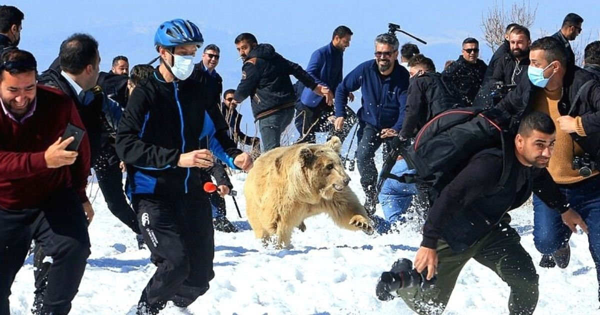 bears5.jpg?resize=1200,630 - Bears Being Released Into The Wild Suddenly Turn On Rescuers And Crowd Of Onlookers