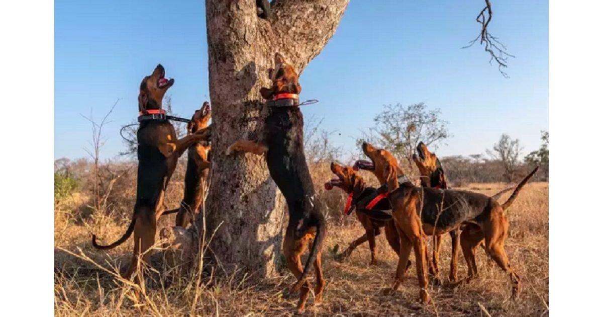 caters news page e1612543764293.jpg?resize=412,232 - Braconnage : Ces chiens sont dressés pour préserver les animaux sauvages
