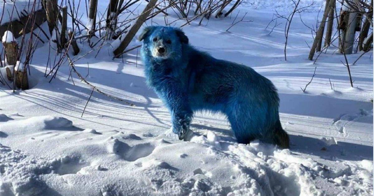 chiens bleus.png?resize=412,232 - Plusieurs chiens bleus ont été aperçus dans une ville industrielle en Russie