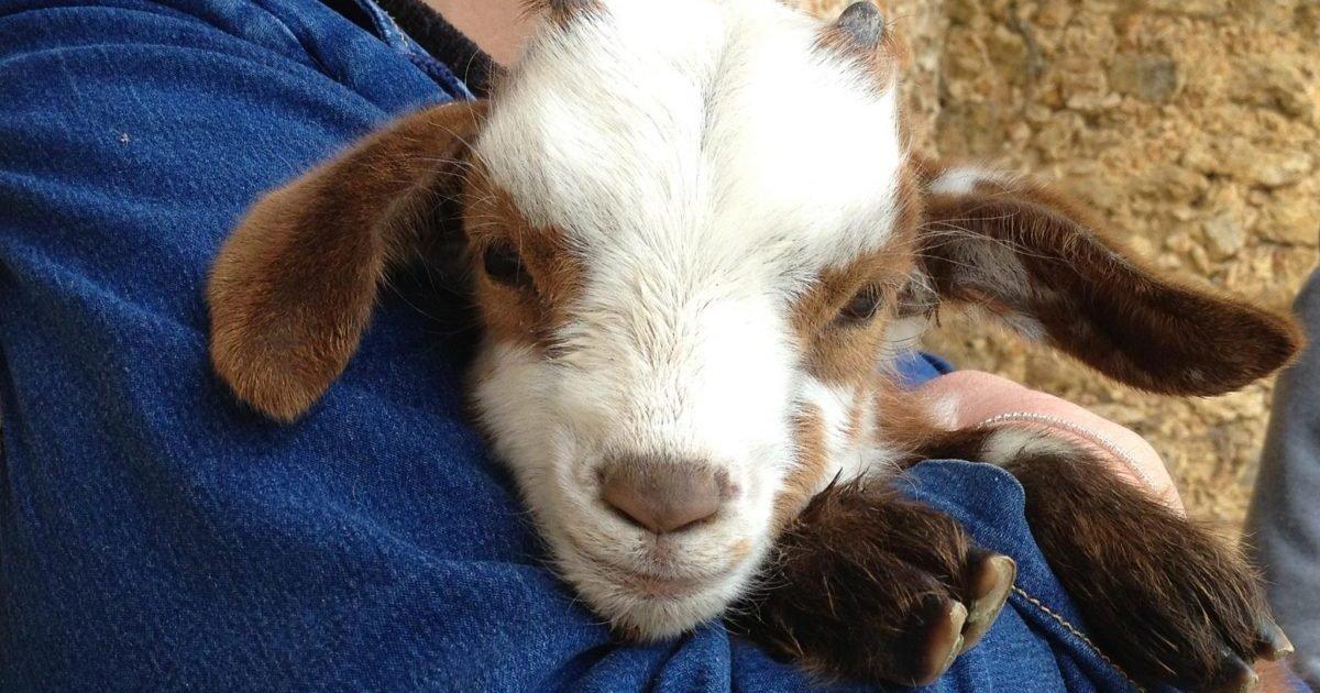 fondation assistance aux animaux e1614271825231.jpg?resize=1200,630 - Sauvetage de chevreaux : Une association propose l'adoption pour leur éviter l'abattoir