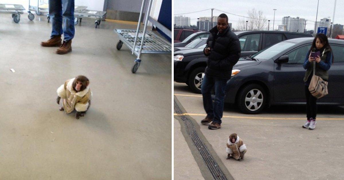 gdgdg.jpg?resize=1200,630 - Monkey In A Coat Found Roaming Around Ikea In Canada