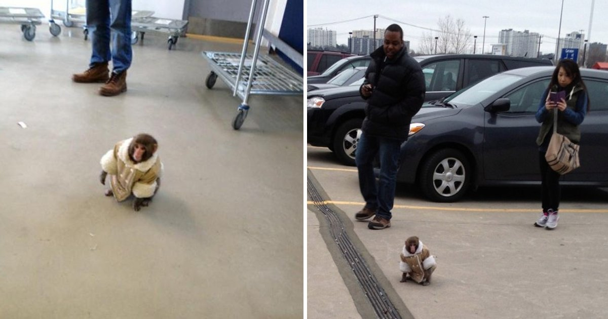 gdgdg.jpg?resize=412,232 - Monkey In A Coat Found Roaming Around Ikea In Canada