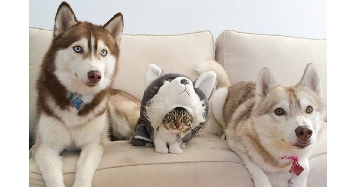 lilothehusky page e1612542509137.jpg?resize=1200,630 - Un chaton mourant a été sauvé par un husky, depuis ils sont les meilleurs amis