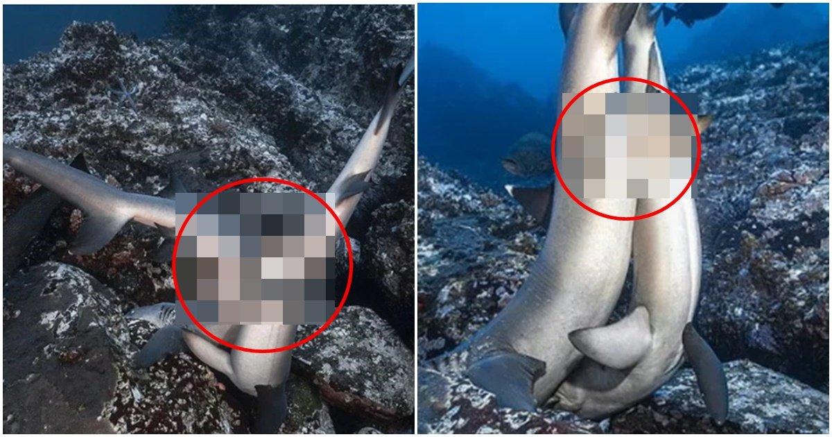 """page 43.jpg?resize=1200,630 - """"와.. 상어 두개 달림..?"""" 두개의 '성기'로 사람보다 매우 과격하고 난폭하게 짝짓기하는 상어 모습 (그곳 사진)"""