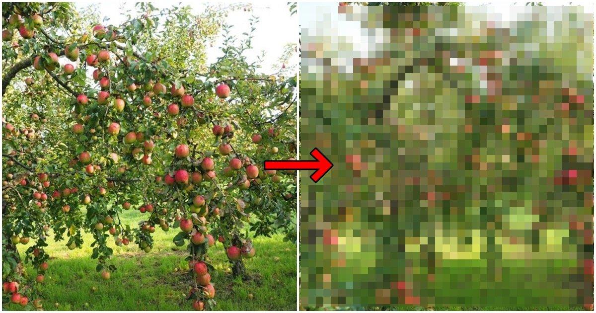 page 5.jpg?resize=1200,630 - 국내 과일나무가 '에이즈'에 걸렸더니 나타난 변화 (사진)
