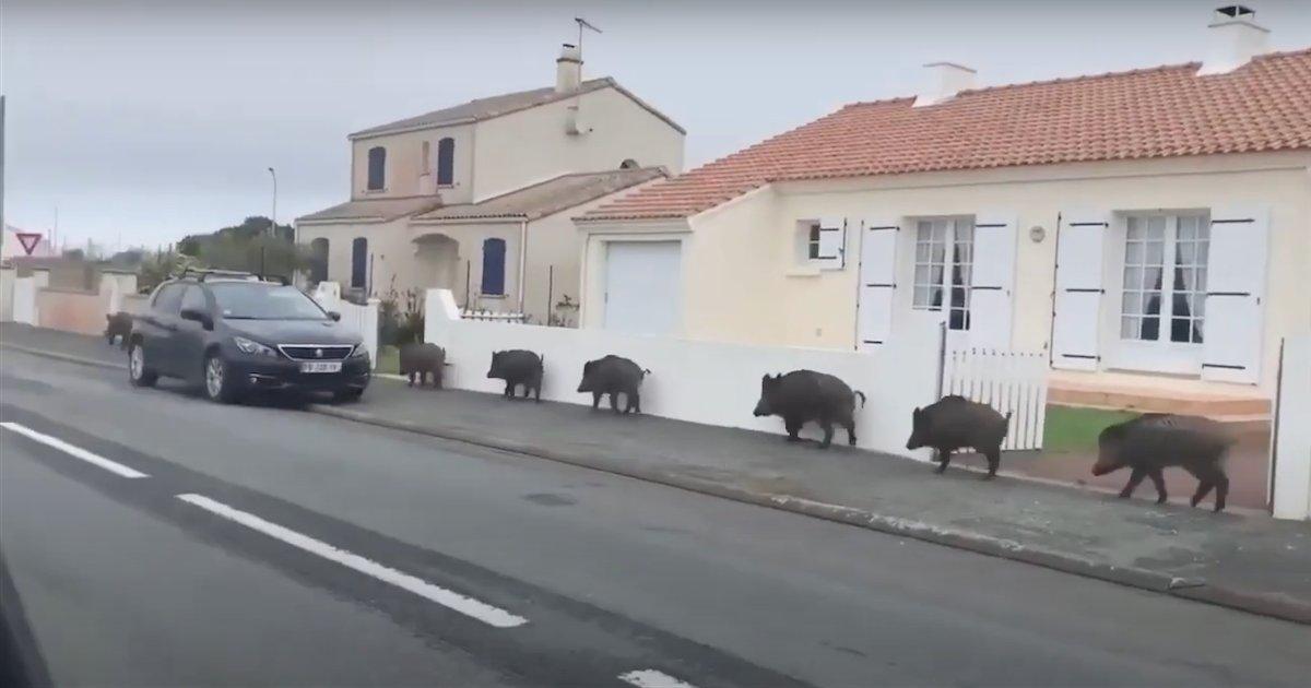 sangliers.png?resize=412,232 - Vendée : un groupe de sangliers a été aperçu en pleine ville