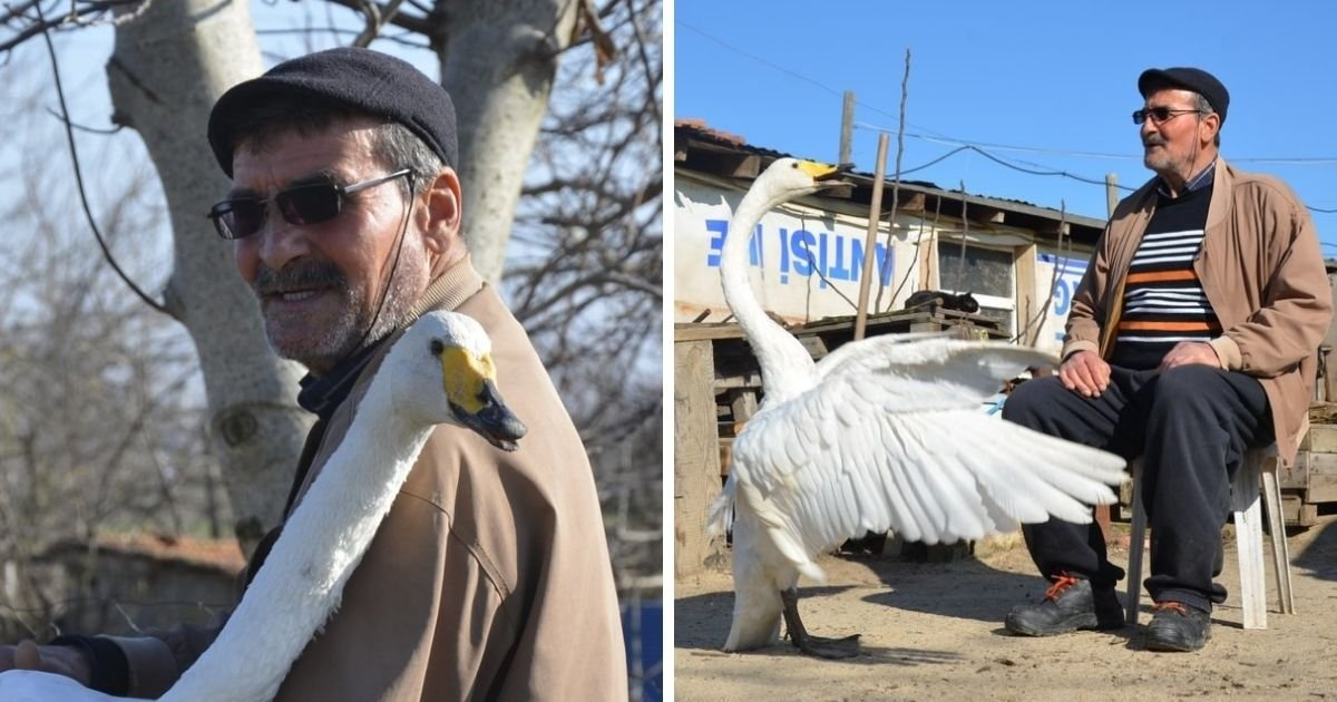 untitled design 8 3.jpg?resize=1200,630 - Man Becomes Best Friends With A Swan After Rescuing The Animal 37 Years Ago