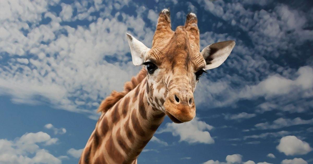 vonjour1.jpg?resize=1200,630 - Choquant : une chasseuse pose avec le corps de la girafe qu'elle vient d'abattre