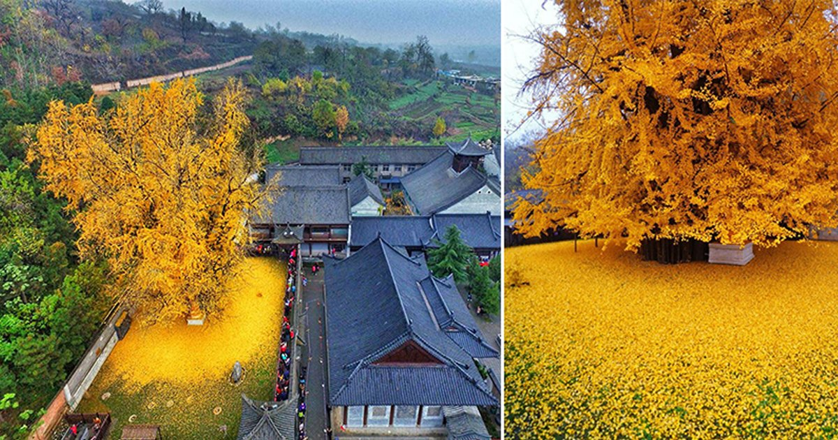 weeee.jpg?resize=1200,630 - 1400-Year-Old Ginkgo Tree Drops Leaves Turning Temple's Ground Into Yellow Ocean