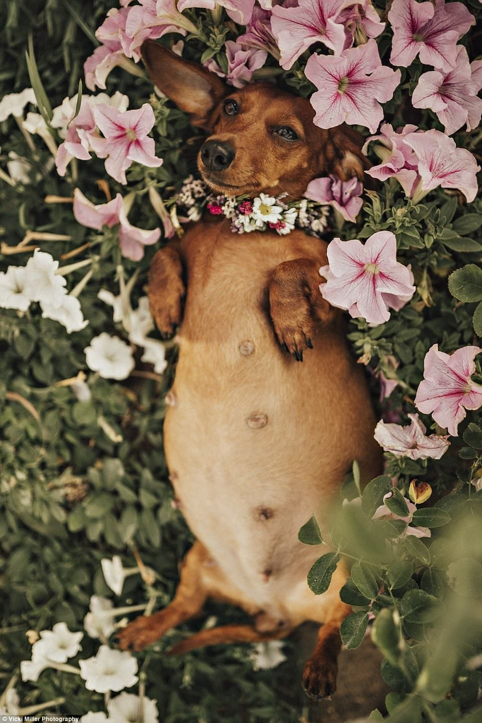 Woman stages intimate maternity shoot for her pregnant pooch Cindi | Dog  photoshoot, Pregnant dog, Dogs