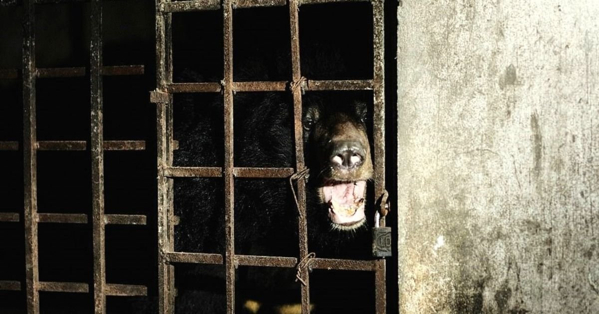 bears6.jpg?resize=412,232 - Two Bears Have Lived In Total Darkness For 17 YEARS In An Illegal 'Bile Farm'