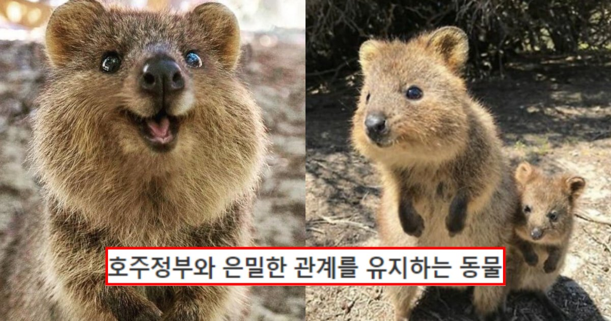 """collage 201.png?resize=412,232 - """"코로나 끝나고 호주 가시려는 분들 꼭 알아두세요.. 이 동물 귀엽다고 만졌다가 큰일납니다…"""" (+사진많음)"""