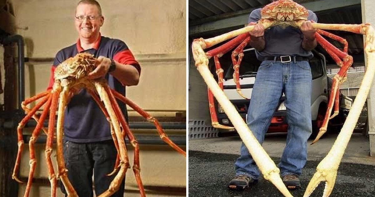 ggsssgsgsg.jpg?resize=412,232 - Here's 8 Reasons Why The Japanese Spider Crab Eating Food Is An Absolute Nightmare