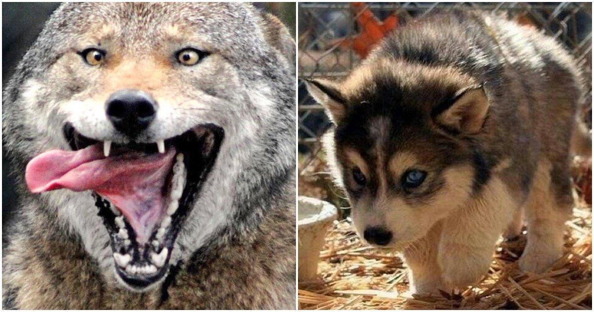 page 145.jpg?resize=412,275 - 보기만 해도 무시무시한 늑대 '14마리'를 국립공원에 풀어놨더니 생긴 '놀라운' 변화