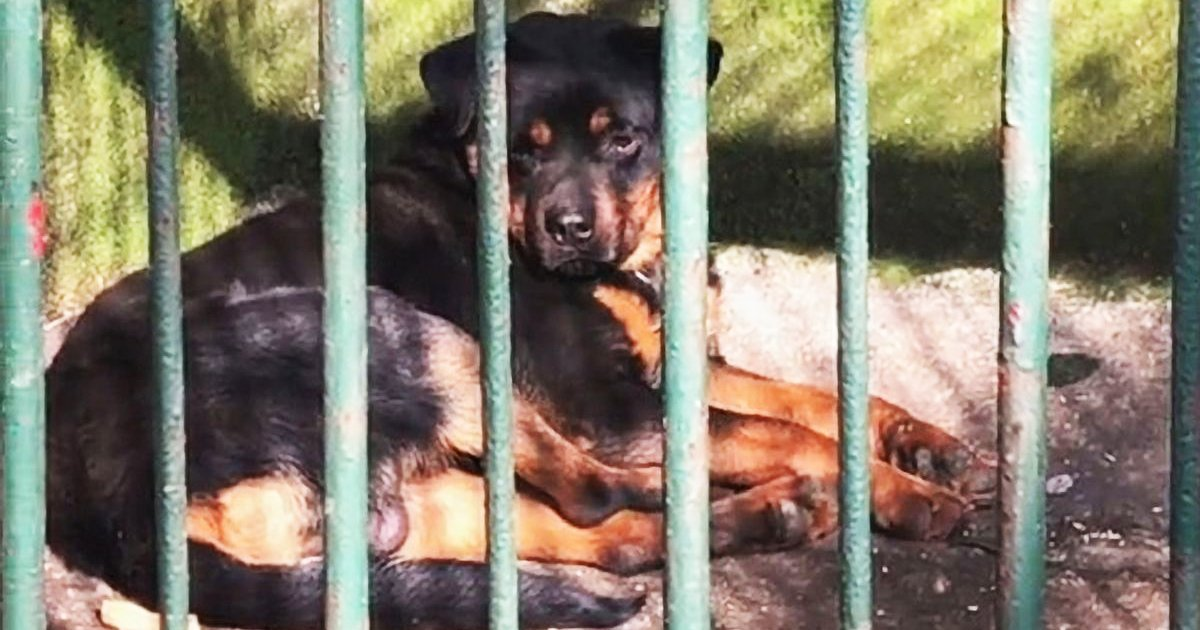 sdfsfsgg.jpg?resize=1200,630 - Zoo Slammed For Replacing Dead Wolf With Rottweiler Dog Due To 'Cheaper' Cost