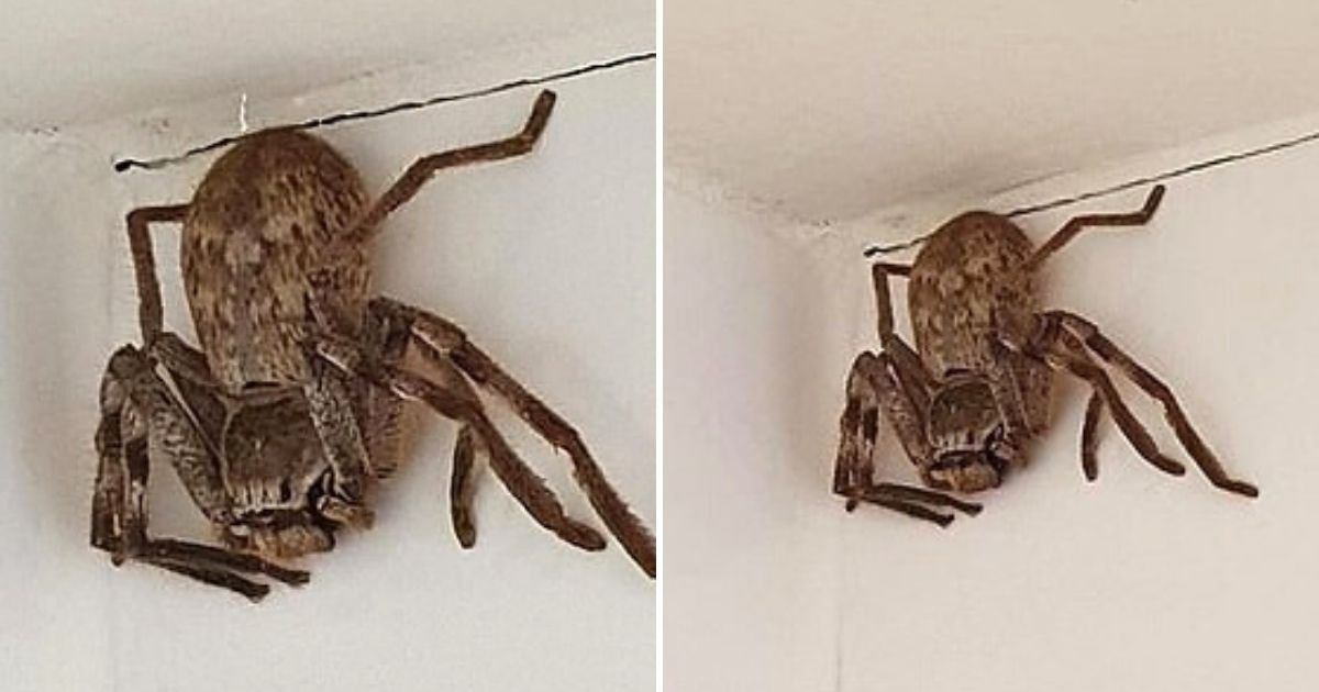 spider4.jpg?resize=412,232 - Woman Finds Massive Spider In Her Bathroom And Asks If She Should Relocate It