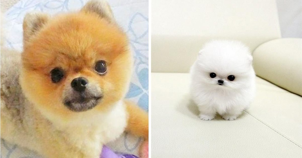 ssggsgg.jpg?resize=1200,630 - Fascinating Facts About Wet Pomeranians That Are Guaranteed To Blow Your Mind