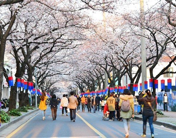 제주왕벚꽃축제 4월1일 개막 - 제주환경일보