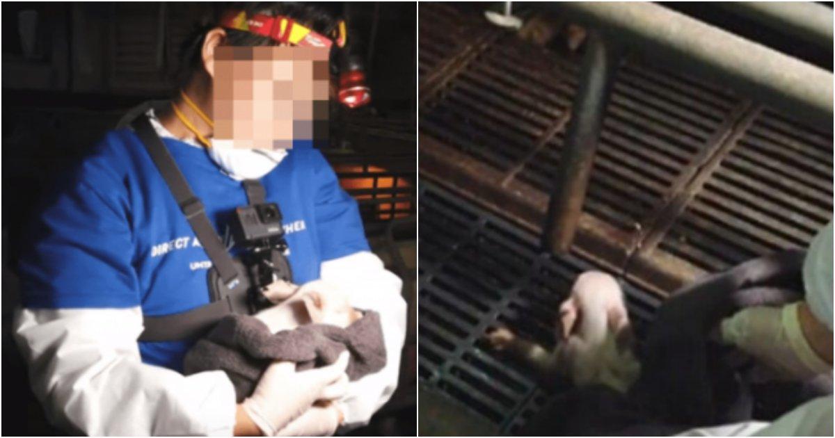 collage 92.png?resize=412,232 - 도축을 반대하겠다며 남의 건물에 불법으로 침입해 돼지를 구출했다는 채식주의자들 모습