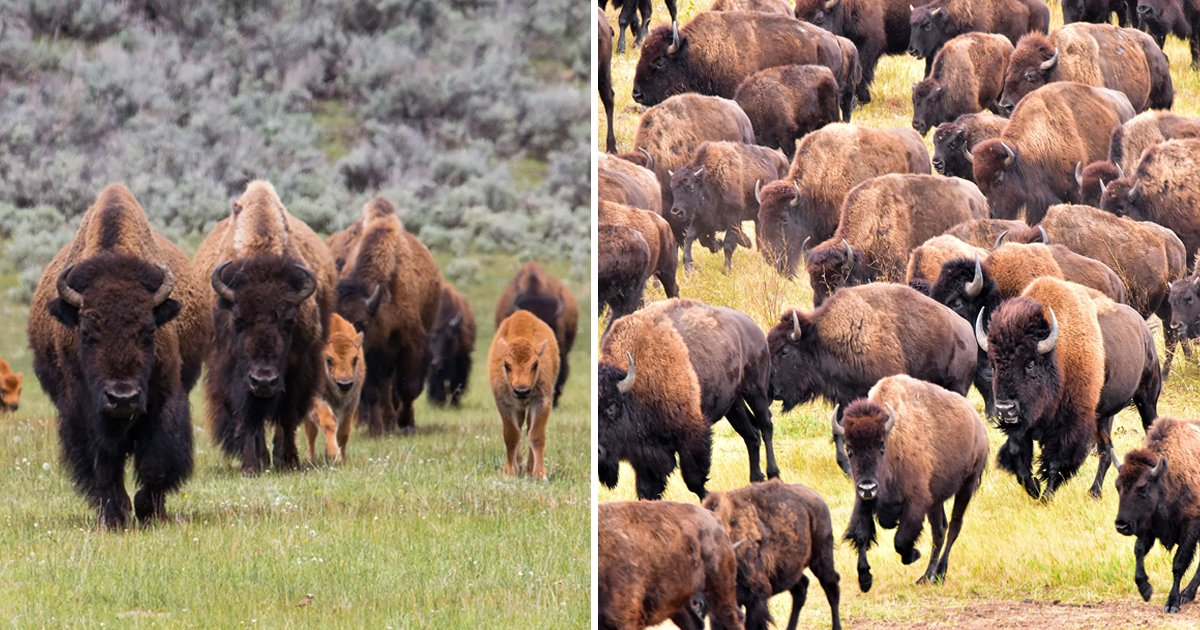 ssgsgsgsg.jpg?resize=1200,630 - National Park Services Wants Volunteers To KILL Hundreds Of Bison At Arizona's Grand Canyon