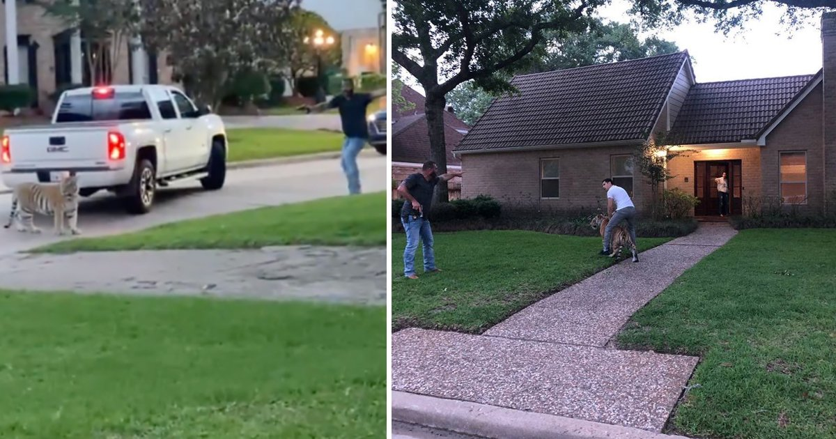 t4 1.jpg?resize=412,232 - Bengal TIGER Caught Terrorizing Citizens While Roaming The Neighborhood Streets In Houston