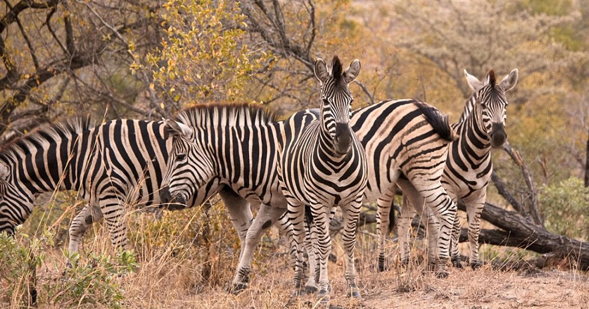 w2 2.jpg?resize=1200,630 - How Fast Can You Count The Number Of Zebras In This Photograph?