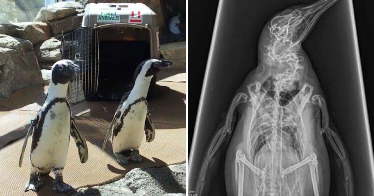 5 42.jpg?resize=1200,630 - 도망 다니는 동물원 '펭귄', 엑스레이 찍는 획기적인 방법
