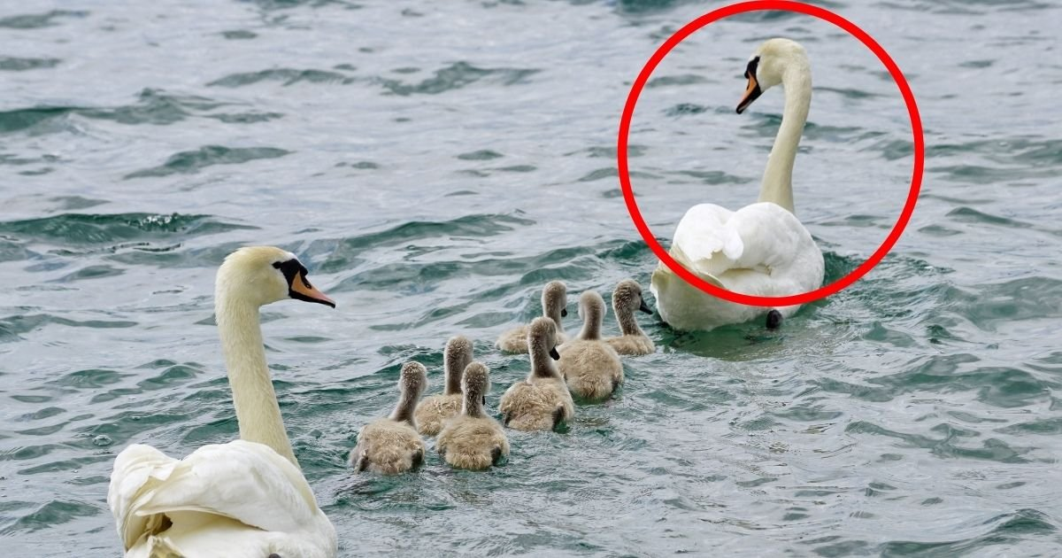 alfie5.jpg?resize=412,232 - High-Spirited Swan Faces Death Penalty As Entire Community Pleads For Its Life