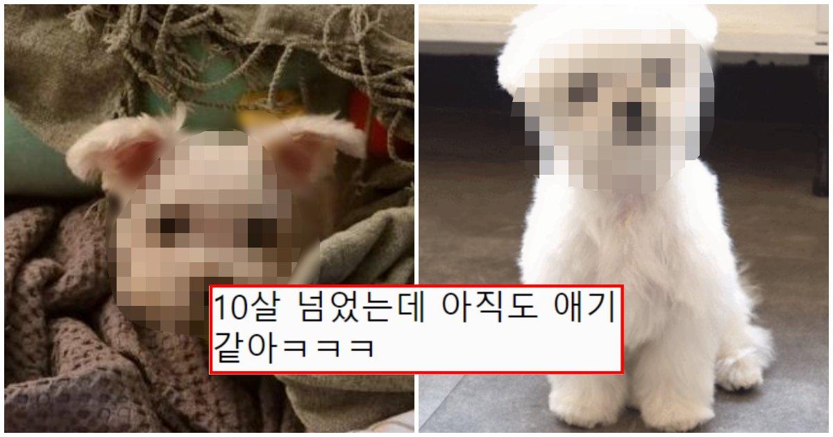 collage 37.png?resize=412,232 - 나이가 들어도 은근 동안이고 오래 산다는 강아지의 정체