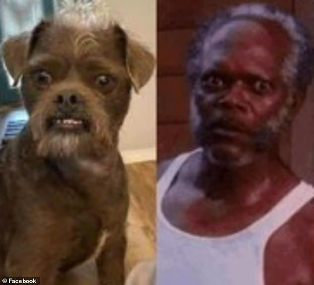 A couple is being inundated with comments comparing their rescue dog (left) to actor Samuel L Jackson (right) after they recently posted a photo the pup on social media
