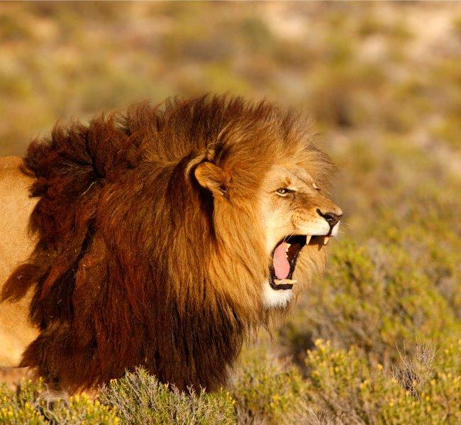사자 무리' 왕위 권불십개월… 암사자만 왕국 역사에 남는다 : 신동아