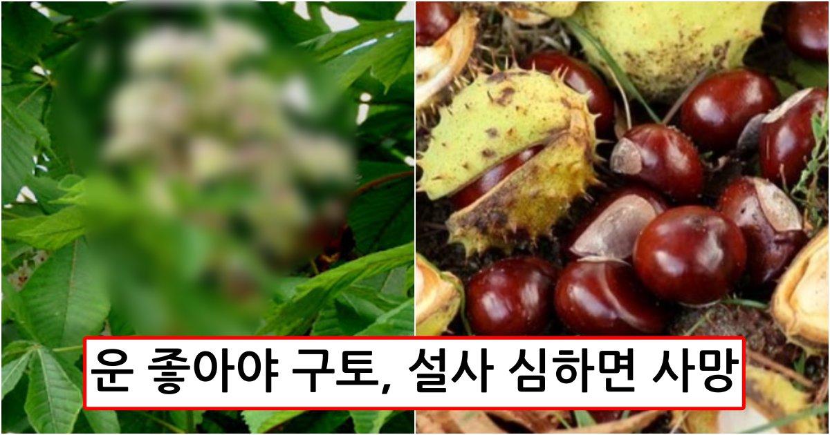 collage 373.png?resize=412,232 - 최근 주위 가로수에 많이 열린 열매가 밤 닮았다고 먹으면 영영 눈을 못 뜰수도 있습니다