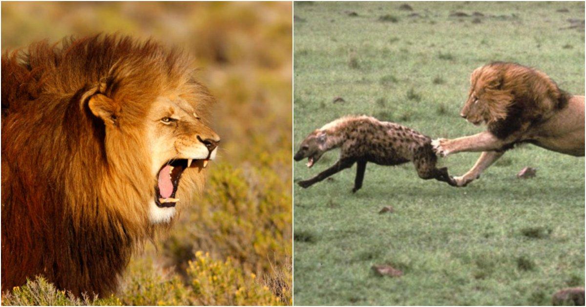 "collage 526.png?resize=412,232 - ""사실은 사자가 초원의 왕이 아니다""… 사실은 사자도 진짜 만나면 쫄고 도망가게 만든다는 초식동물들"