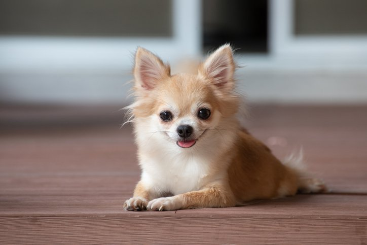 Where Do Chihuahuas Come From? - The Dog Blog