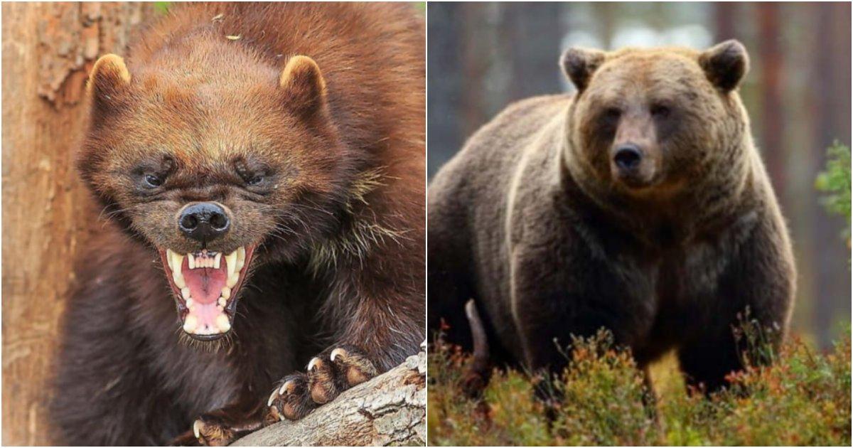 collage 26.png?resize=1200,630 - 곰도 무서워서 절대 못 건드리고 오히려 도망치게 만든다는 분노절장애 동물 정체