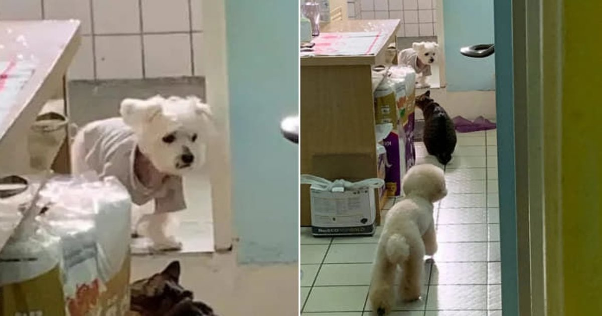 ecb998eba7a4eab2ac.png?resize=412,232 - 치매에 걸린 노견이 집에서 길 잃고 헤매자 같이 사는 강아지와 고양이가 보인 반응(+영상)